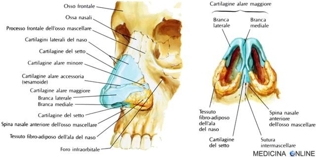 Naso esterno anatomia funzioni ossa com fatto for Interno naso