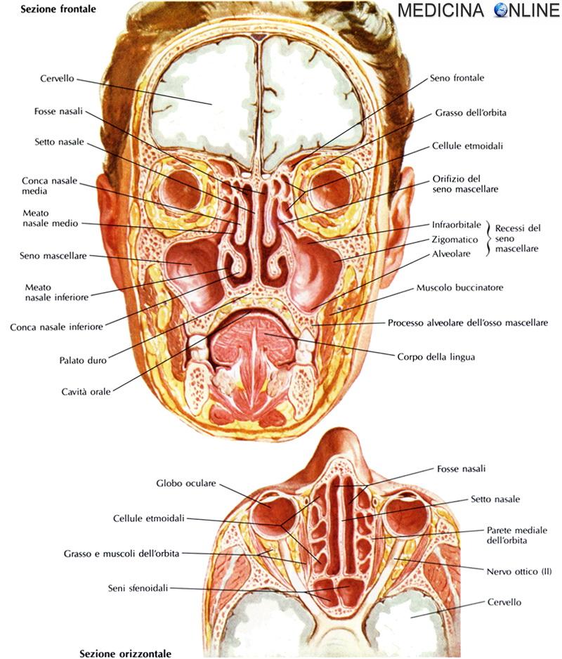 Seni paranasali anatomia e funzioni delle cavit del for Interno del naso
