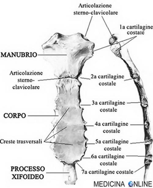 Sterno anatomia dove si trova frattura articolazioni for Angolo del louis