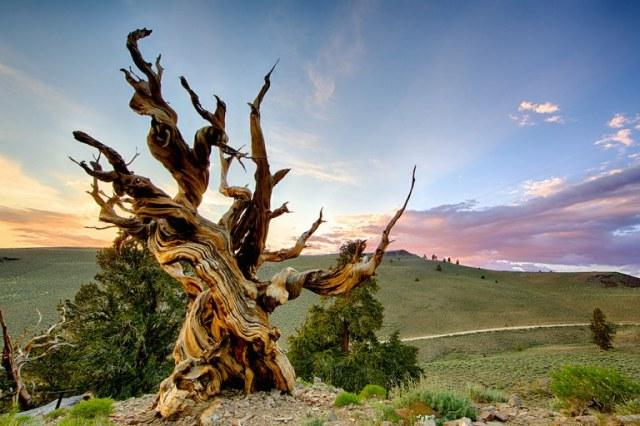 MEDICINA ONLINE ALBERO MATUSALEMME ORGANISMO VIVENTE SUPERIORE PIU LONGEVO ANTICO TERRA MONDO NATURA NATURE Methuselah tree.jpg