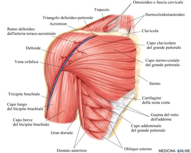il pene è un muscolo o una cartilagine)