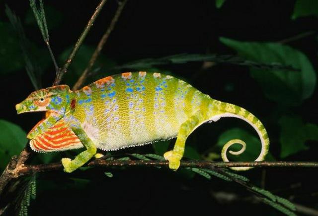 MEDICINA ONLINE ANIMALI NATURA ANIMALE COLORI  Camaleonte del Madagascar.jpg