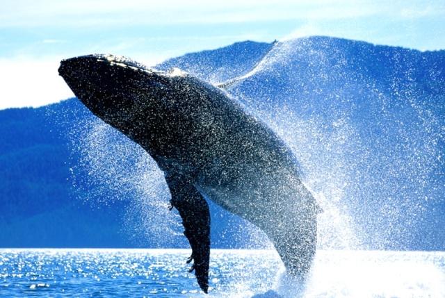 MEDICINA ONLINE ANIMALI PIU LONGEVI ANTICHI ETA AL MONDO TERRA NATURA ANIMALE TUARA MEDUSA ORCA BALENA MARE TARTARUGA VONGOLA IMMORTALE OLD AGE ANIMALS WALLPAPER WHALE.jpg