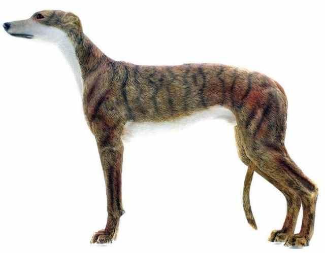 MEDICINA ONLINE CANE PIU VELOCE AL MONDO Greyhound dog.jpg