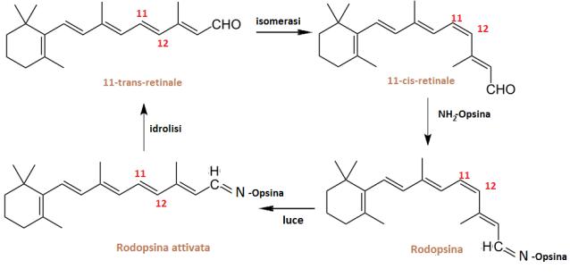 MEDICINA ONLINE CHIMICA OCCHI Vitamina A retinolo BETA β carotene rodopsina retina coni bastoncelli perché sono importanti per la vista.png