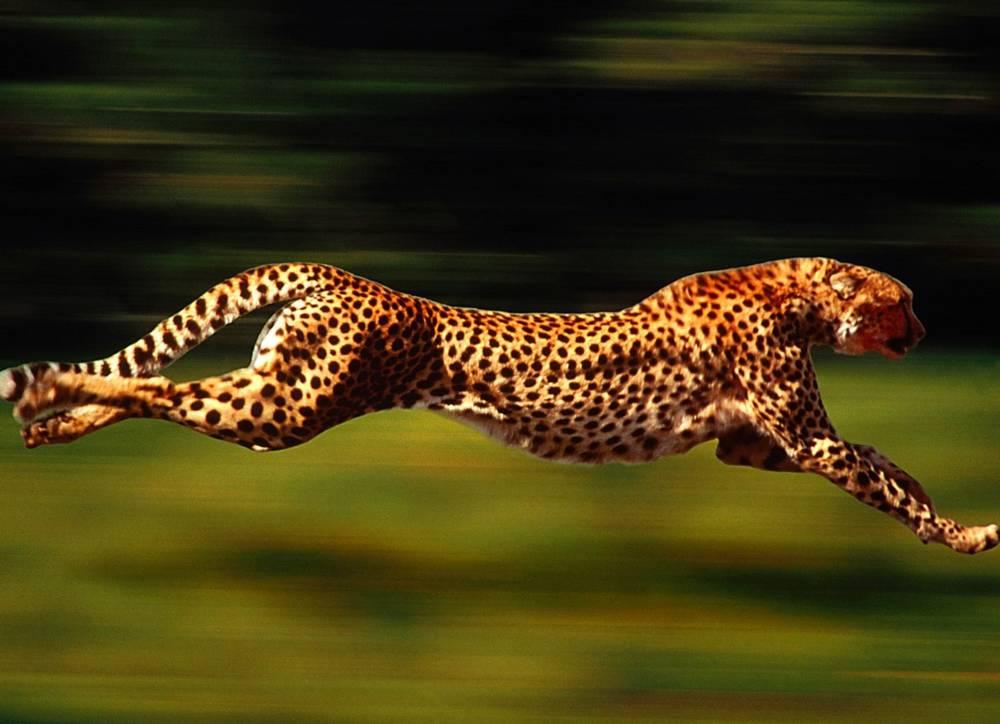 pene di ghepardo