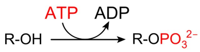 MEDICINA ONLINE Modificazioni post-traduzionali delle proteine dalla fosforilazione alla glicosilazione.png