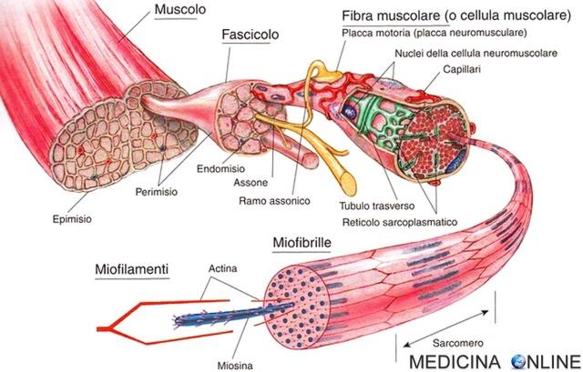 MEDICINA ONLINE MUSCOLO SCHELETRICO MUSCOLI FIBRA FASCICOLO FIBRA MIOFILAMENTI ACTINA MIOSINA MIOFIBRILLE SARCOMERO ANATOMIA ATP ENERGIA DISTROFIA ATROFIA DIAGNOSI BAMBINI ADULTI CONTRAZIONE TIPO FORZA ESERCIZIO LEVA