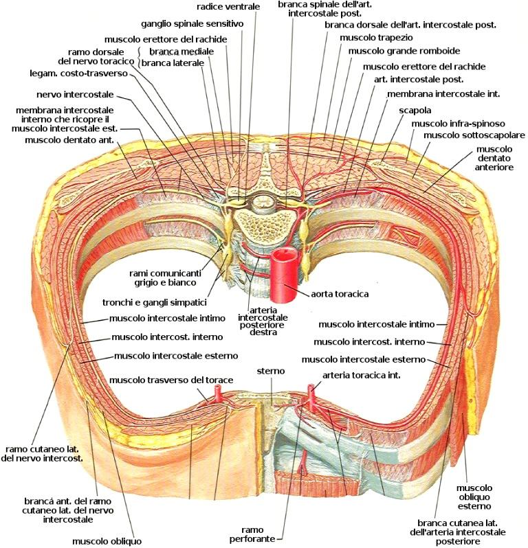 dorsal artery - Italian translation – Linguee