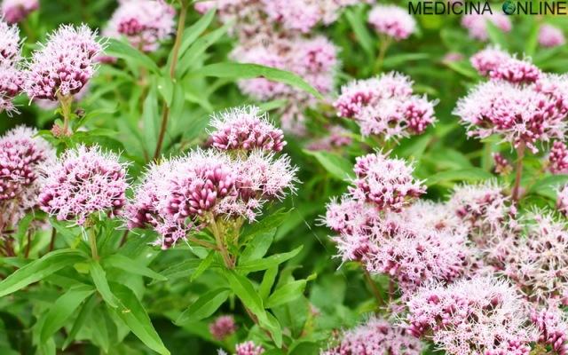 Valeriana in medicina: proprietà terapeutiche fa male