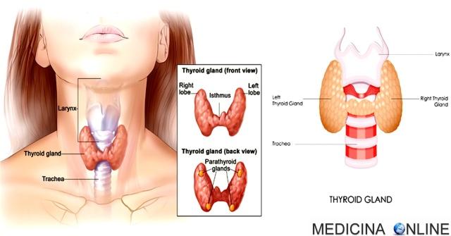 MEDICINA ONLINE IPERTIROIDISMO IPOTIROIDISMO THYROID SEGNI SINTOMI ECOGRAFIA TIROIDE ORMONI TIROIDEI ASSE IPOFISI IPOTALAMO T3 T4 EUTIROX TIROIDEGCTOMIA MORBO BASEDOW GOZZO TOSSICO TIREOTOSSICOSI UOMO SINTOMI INIZIALI