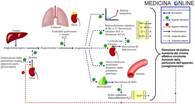MEDICINA ONLINE Sistema renina-angiotensina-aldosterone SCHEMA RIASSUNTO MECCANISMO FUNZIONI  Renin-angiotensin-aldosterone_system-it.jpg