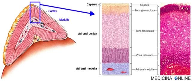MEDICINA ONLINE SURRENE CORTICALE MIDOLLARE ORMONI STEROIDEI CORTICOSTEROIDI CATECOLAMINE ADRENALINA NORADRENALINA CORTISOLO ALDOSTERONE SESSUALI ANDROGENI ESTROGENI TESTOSTERONE ENDOCRINOLOGIA Adrenal gland cortex medulla.jpg