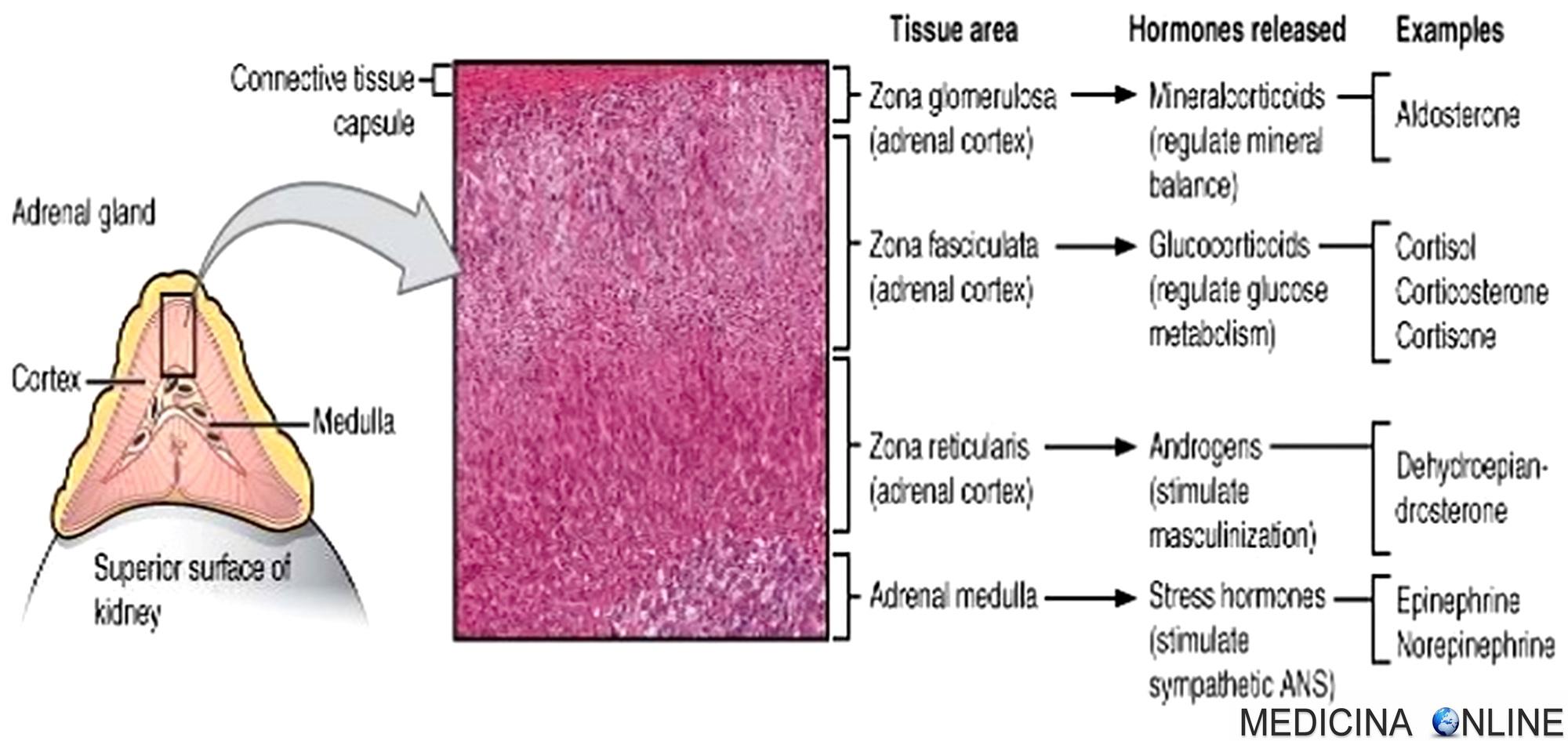 cortisolo ed erezione