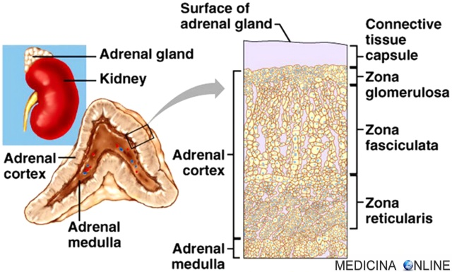 MEDICINA ONLINE SURRENE CORTICALE MIDOLLARE ORMONI STEROIDEI CORTICOSTEROIDI CATECOLAMINE ADRENALINA NORADRENALINA CORTISOLO ALDOSTERONE SESSUALI ANDROGENI ESTROGENI TESTOSTERONE ENDOCRINOLOGIA Adrenal gland cortex medulla