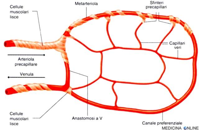 MEDICINA ONLINE ANASTOMOSI ARTERIA VENA ARTERIOLA CAPILLARI SANGUE CIRCOLAZIONE EDEMA.jpg