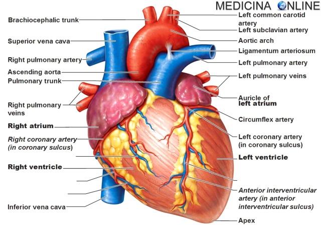 MEDICINA ONLINE CUORE INFARTO MIOCARDICO ACUTO SCOMPENSO FREQUENZA CARDIACA IPERTENSIONE ARTERIOSA ENZIMI CARDIACI ANGINA PECTORIS ISCHEMIA NECROSI SINDROME CORONARICA CORONARIE STENOSI VALVOLA PROLASSO SANGUE