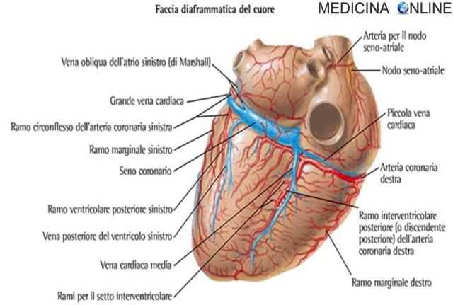 MEDICINA ONLINE CUORE SANGUE VENE CORONARICHE VENE DEL CUORE CORONARIE CIRCOLAZIONE CORONARICA CARDIOLOGIA ARTERIA MIOCARDIO MUSCOLO CARDIACO