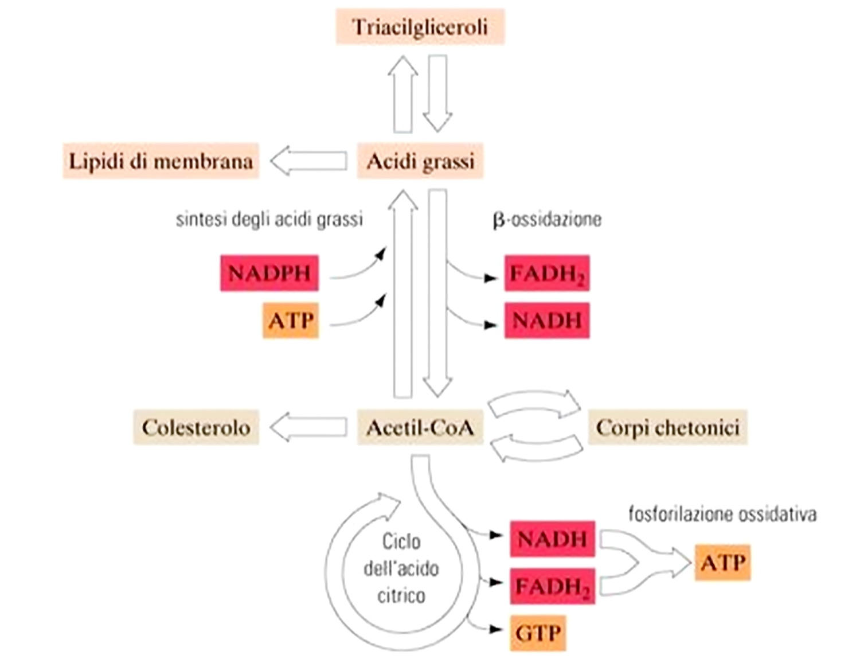 ipotiroidismo dietetico chetonico