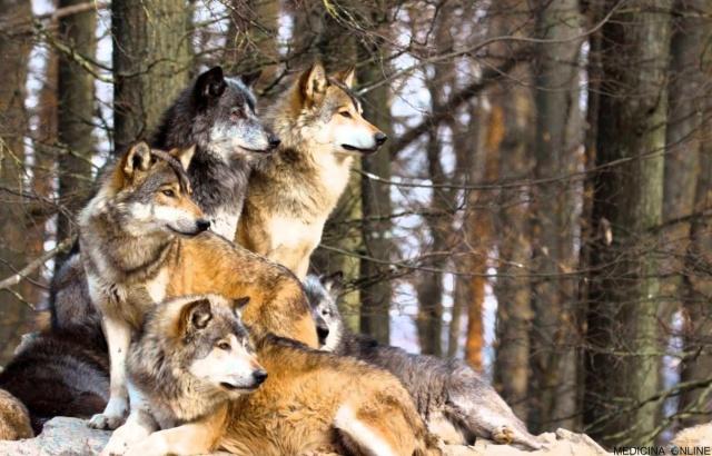 MEDICINA ONLINE La forza del lupo è il branco e la forza del branco è il lupo Rudyard Kipling Il libro della giungla 1894 The Jungle Book For the strength of the Pack is the Wolf, and the strength of the Wolf is the Pack aforismi.jpg