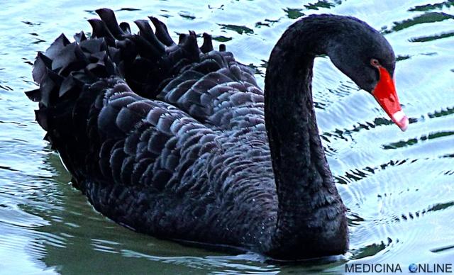 MEDICINA ONLINE Black swan theory events TEORIA DEL CIGNO NERO EVENTI SIGNIFICATO Nassim Nicholas Taleb PSICOLOGIA COMPORTAMENTO DIZIONARIO FLUSSO Cygnus atratus ANIMALI RARI LAGO SORPRESA.jpg