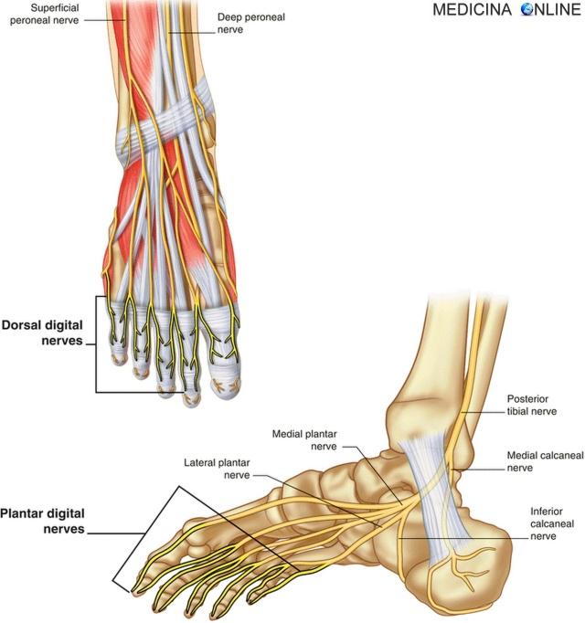 MEDICINA ONLINE NERVI DEL PIEDE Nervo plantare laterale e mediale