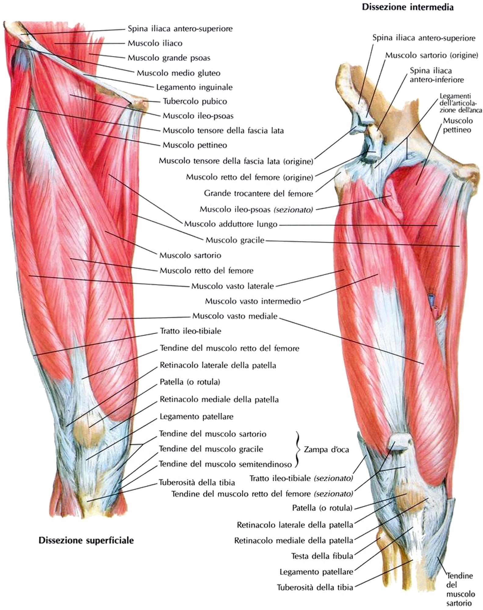 Dolore al ginocchio che allunga quadricipiti. Dolore al ginocchio: cause e rimedi per la gonalgia