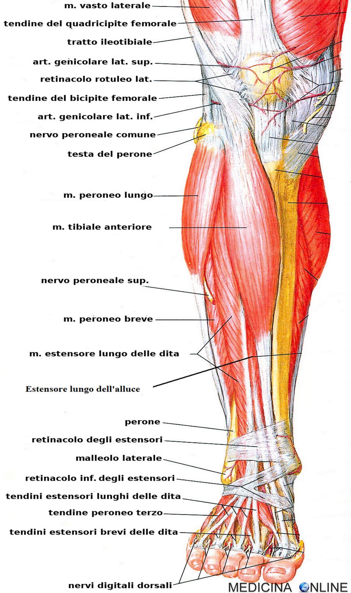 muscoli della coscia interna femminile