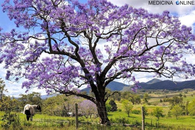 MEDICINA ONLINE Pianta un libro e crescerà un albero JACARANDA PEQUENO EDITOR NATURA FIORI VIOLA PRATO GIARDINO.jpg