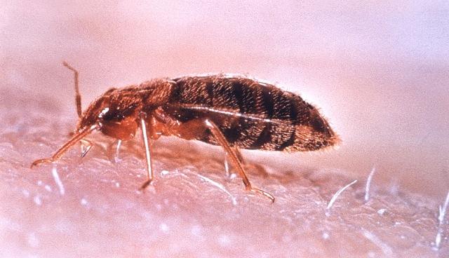 MEDICINA ONLINE Svegliarsi con punture di insetto e sangue forse è la cimice dei letti CIMEX LECTULARIUS HOTEL CAMERE OSPEDALE CUSCINO LENZUOLA MACCHIA ROSSORE PELLE MATERASSO VIAGGIATORE TURISTA INSETTI CIMICI INFESTAZIONE