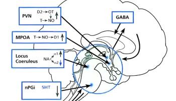 la struttura dellerezione dellorgano maschile