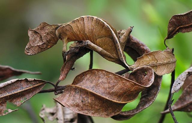 MEDICINA ONLINE Il geco satanico dalla coda a foglia e la sua incredibile mimetizzazione Uroplatus phantasticus Satanic leaf-tailed gecko 2.jpg