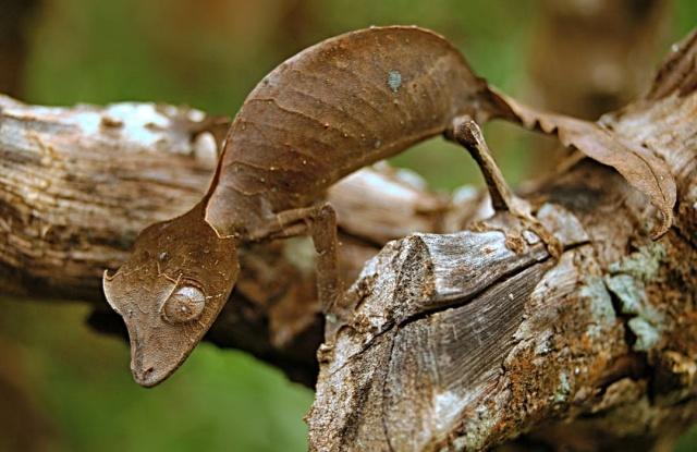 MEDICINA ONLINE Il geco satanico dalla coda a foglia e la sua incredibile mimetizzazione Uroplatus phantasticus Satanic leaf-tailed gecko 3.jpg