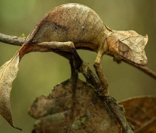 MEDICINA ONLINE Il geco satanico dalla coda a foglia e la sua incredibile mimetizzazione Uroplatus phantasticus Satanic leaf-tailed gecko.jpg