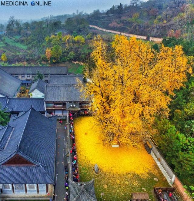 MEDICINA ONLINE L'albero d'oro ginkgo biloba di 1400 anni tempio buddista Gu Guanyn Zhongnan Xi'an TAPPETO GIALLO.jpg