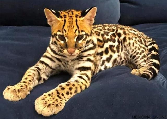 MEDICINA ONLINE L'ocelotto (gattopardo) il gatto che somiglia ad un leopardo in miniatura (1)