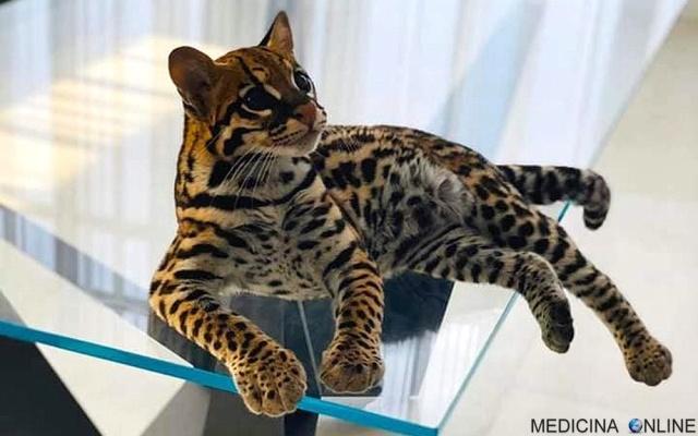 MEDICINA ONLINE L'ocelotto (gattopardo) il gatto che somiglia ad un leopardo in miniatura  (2).jpg