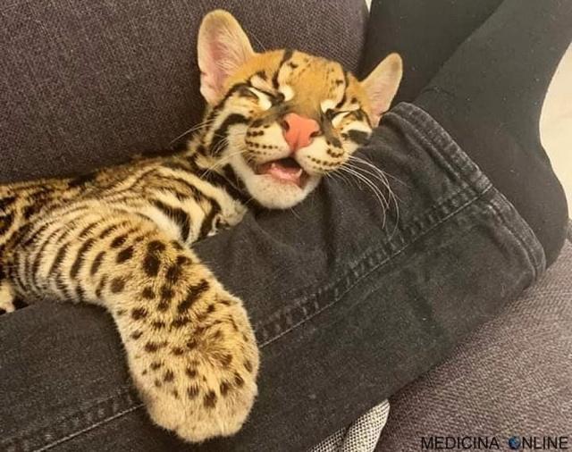 MEDICINA ONLINE L'ocelotto (gattopardo) il gatto che somiglia ad un leopardo in miniatura (3)