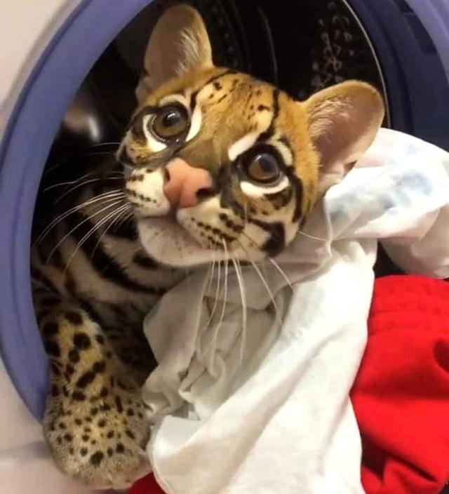 MEDICINA ONLINE L'ocelotto (gattopardo) il gatto che somiglia ad un leopardo in miniatura (4)