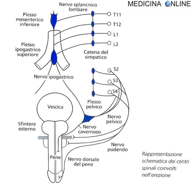 MEDICINA ONLINE Rappresentazione schematica dei centri spinali coinvolti nell'erezione.jpg