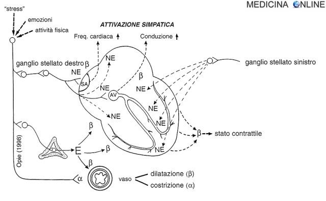 MEDICINA ONLINE cuore Fig. 2 Meccanismi della stimolazione simpatica.jpg