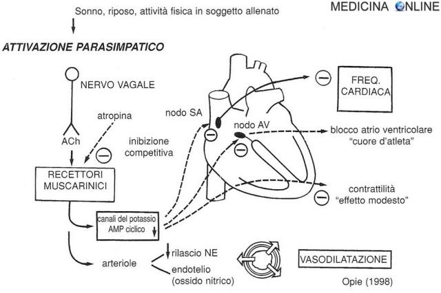 MEDICINA ONLINE cuore Fig. 3 - Il sistema parasimpatico o colinergico, agendo attraverso i recettori muscarinici, presenta effetti inibitori sul cuore.jpg