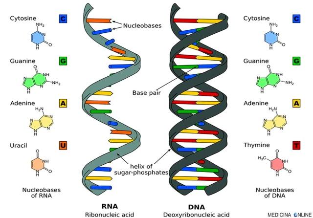 MEDICINA ONLINE DIFFERENZA TRA RNA E DNA GENETICA LABORATORIO GENE ALLELE CROMOSOMA ADN ARN TIMINA URACILE DESOSSIRIBOSIO RIBOSIO ACIDO BASI DOPPIA ELICA SINGOLA ELICA.jpg