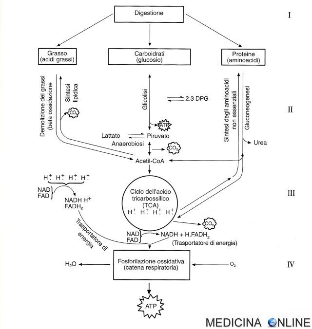 MEDICINA ONLINE aerobiosi produzione di energia adenosintrifosfato (ATP) vie metaboliche la glicolisi il ciclo degli acidi tricarbossilici (TCA) la fosforilazione ossidativ